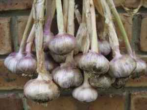 garlic08