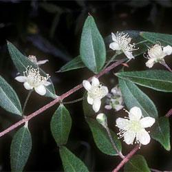 austromyrtus-dulcis-a-3106-sm